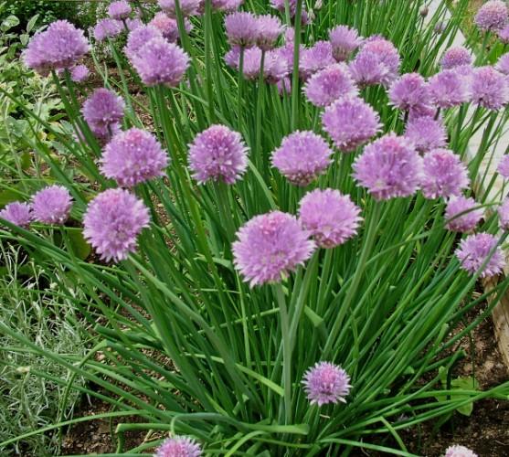 Las flores de cebollino son deliciosas en sus platos de verano - Allrecipes Dish
