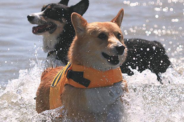 Source: http://socalcorgibeachday.com/