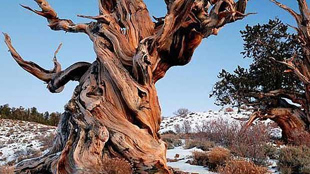 Methuselah Tree (Source: Pinterest)
