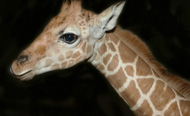 Source: TraerScott- Giraffe, five weeks old