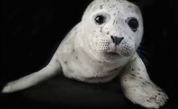 Source: TraerScott- Harbor seal, two weeks old