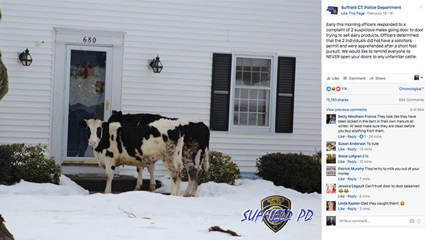 Suffield Cows