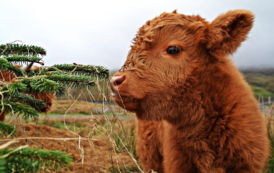 Fluffy Baby Cows Are Here to Make Your Day Better