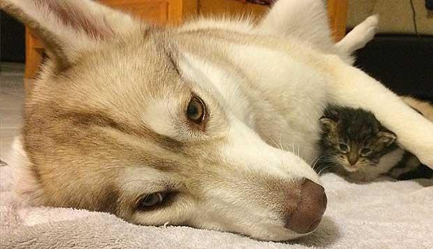Lilo the Husky