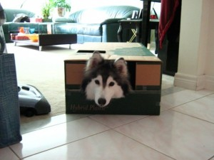 1 a tally-husky-dog-raised-by-cats-6