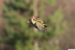 WOODPECKER-WEASEL-900