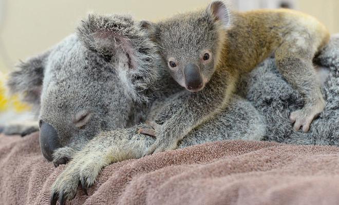 Koala_ydd1