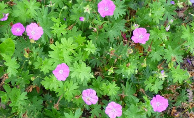6 plantas con cobertura de flores que aportan color a cada jardín