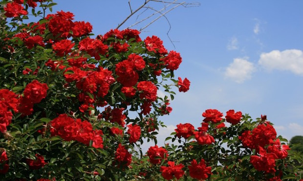 How To Grow A Beautiful And Healthy Rosebush