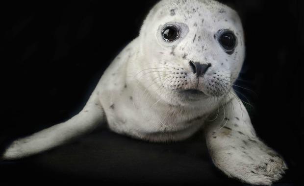 Source: TraerScott- Harbor seal, two weeks old