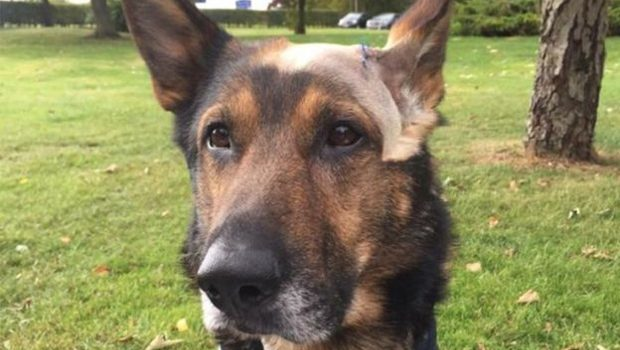Source: Bedfordshire Cambridgeshire Hertfordshire Police Dogs