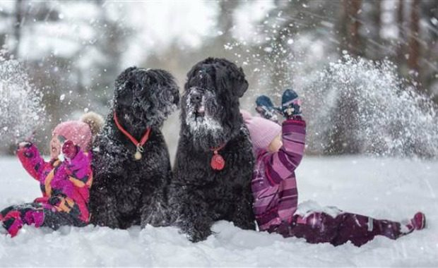Source: Black Russian Terriers Andy Seliverstoff/Revodana Publishing