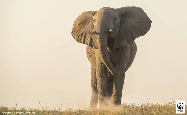 Source: Facebook World Wildlife Fund/ Patrick Bentley WWC-US