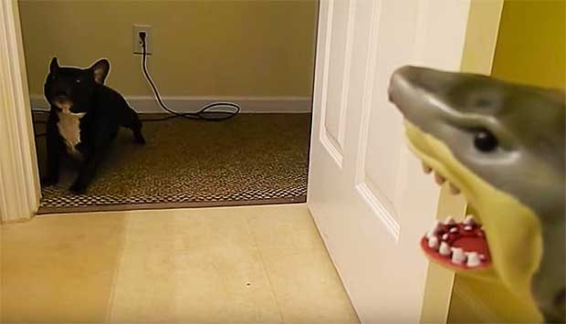 French Bulldog Named Swayze Reaches Breaking Point in Standoff With Shark Toy