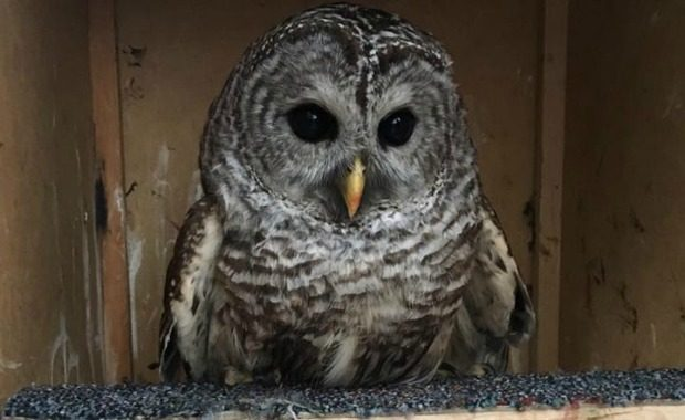 Owl named Oscar Source: Whately Police Department/Facebook