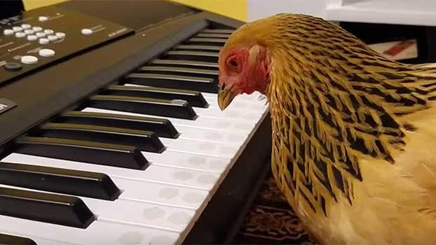 Patriotic Chicken