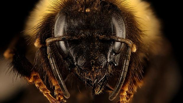 Bumblebees Endangered Species
