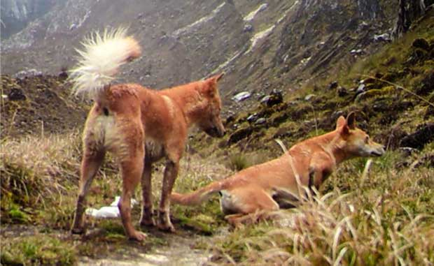 New Guinea highland wild dog