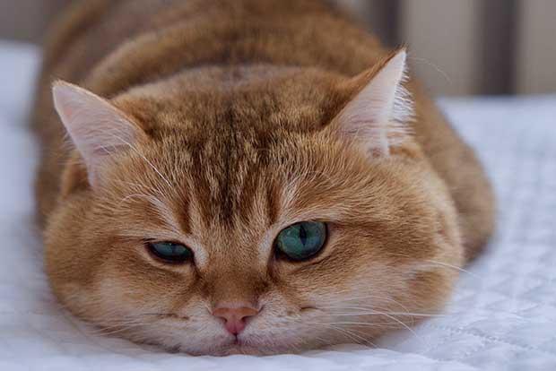 Hosico Cat