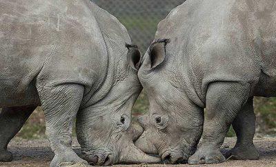 Thoiry Zoo Rhino