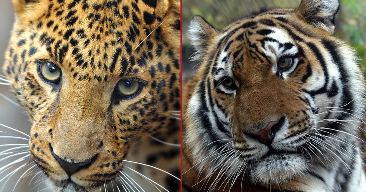 Big Cats Amur Leopard and Tiger to Be Protected in ...