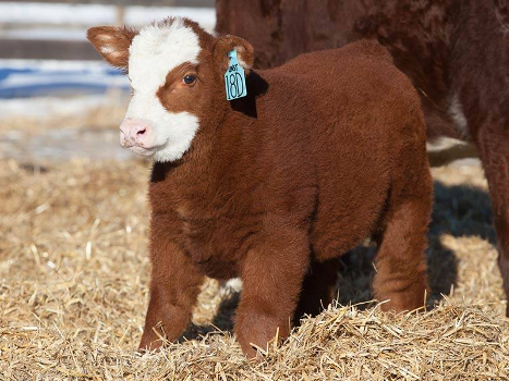 baby beef cows