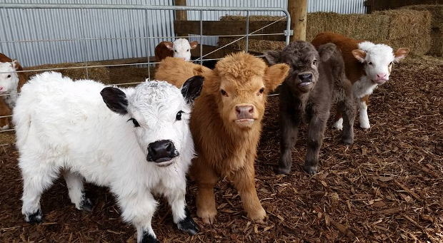 fluffy baby cows