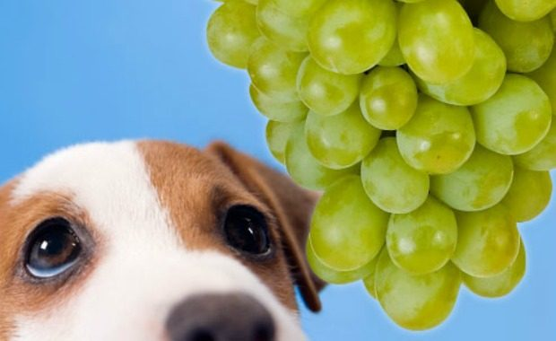 Food Poisoning In Dogs How To Treat