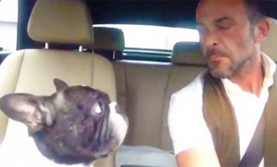 french bulldog sings