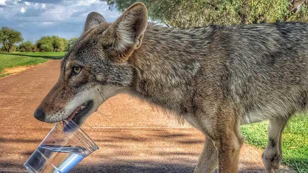coyote golfers
