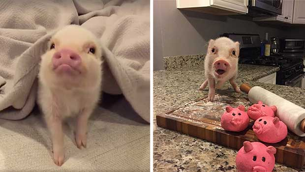 hank the pot belly pig