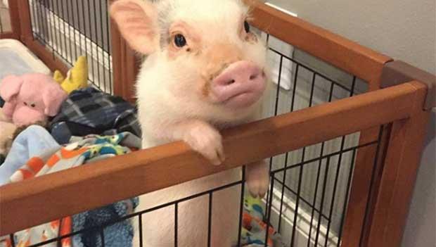 hank the pot belly pig