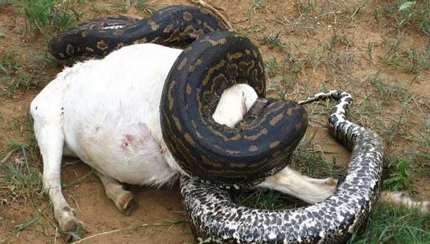 pregnant python