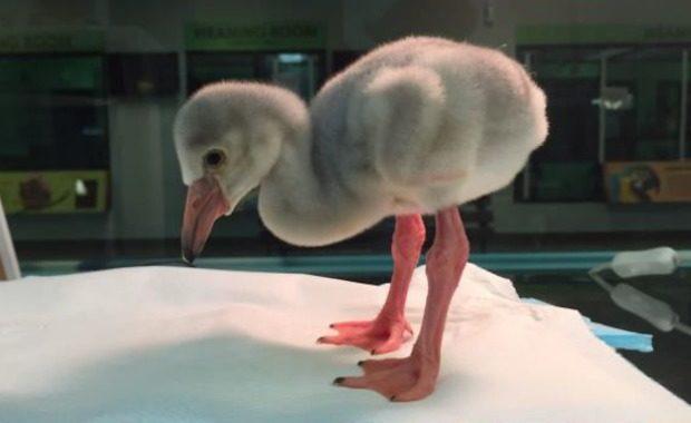 orphaned flamingo