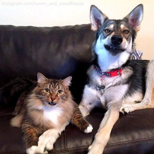 husky cat friendship