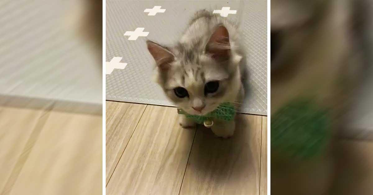 kitten wearing bow tie