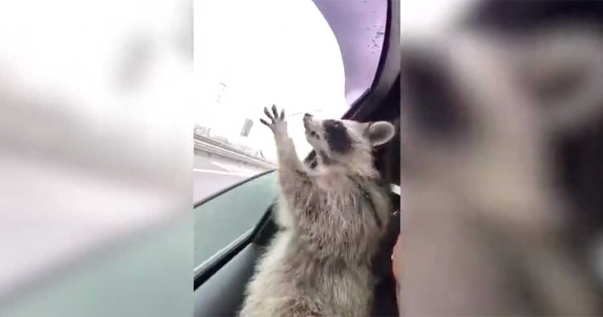 raccoon catching raindrops