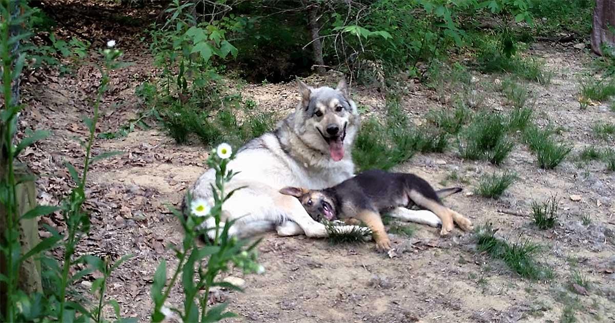 wolf german shepherd
