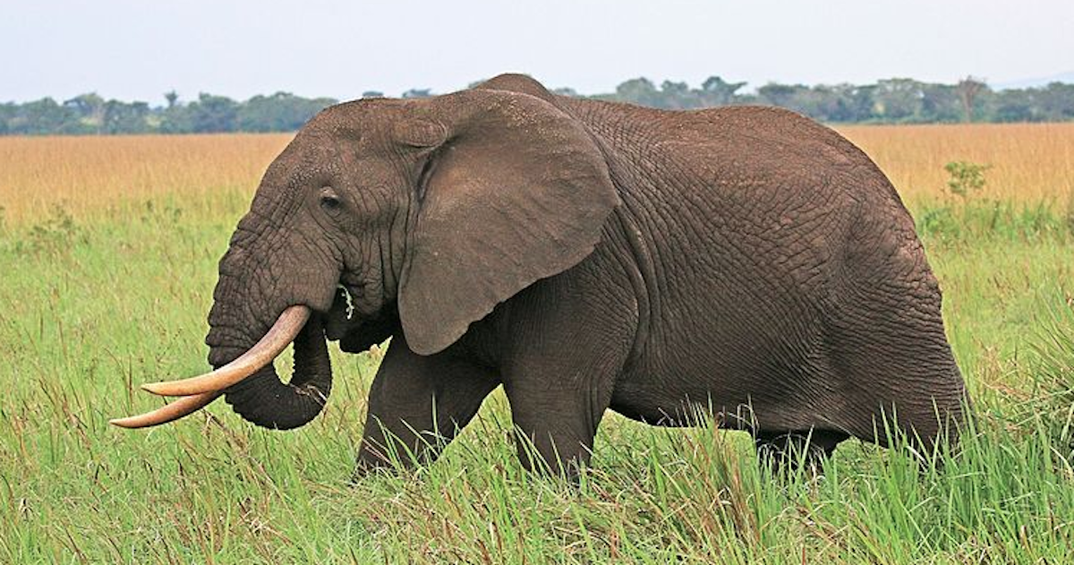 Elephant Trophies