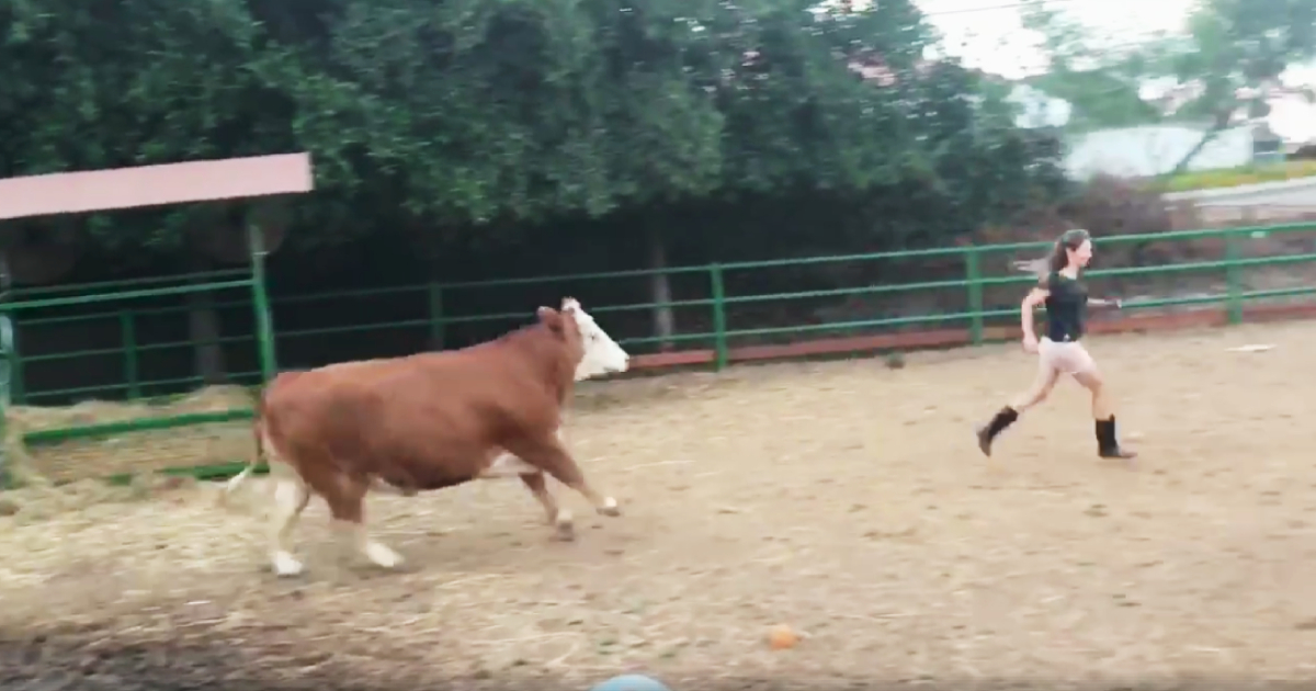 rescued cow runs