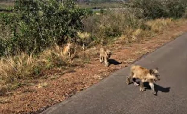 lioness saves missing cubs