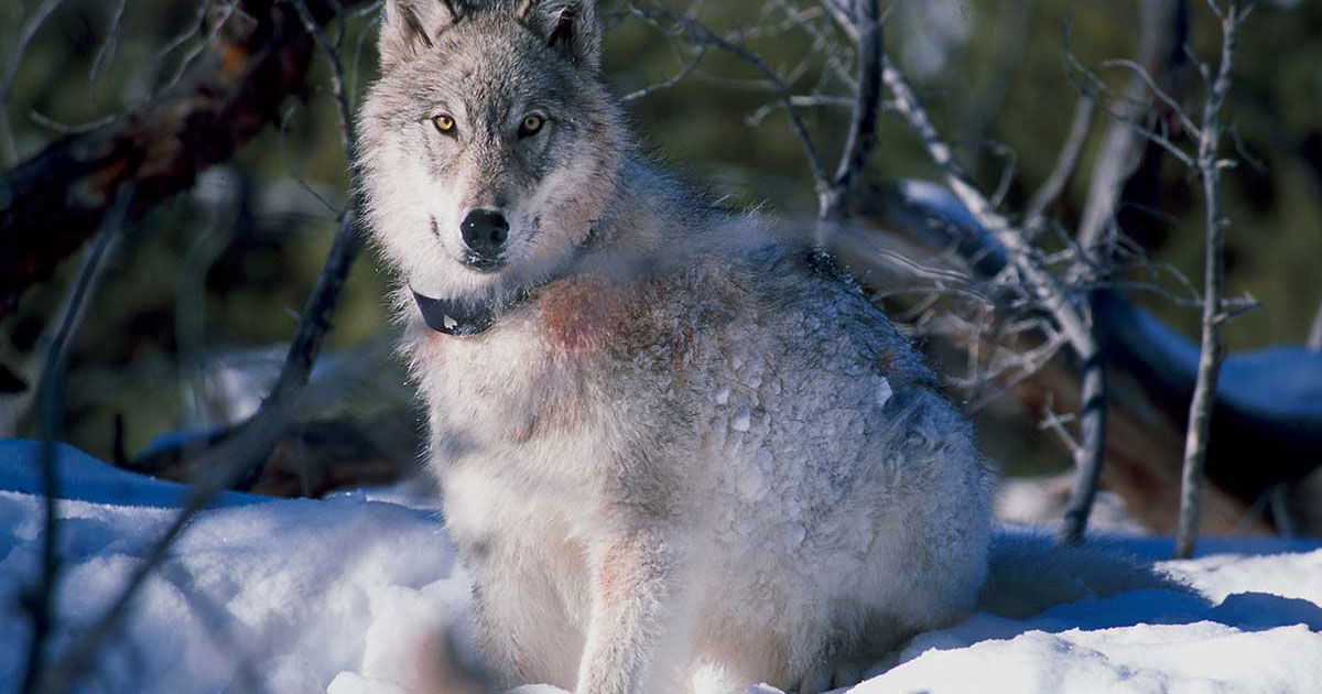 efforts to save wolves in the yellowstone park now doubled Yellowstone national park wolves studies in yellowstone national park since wolves were reintroduced right now critiques in scientific efforts can be.