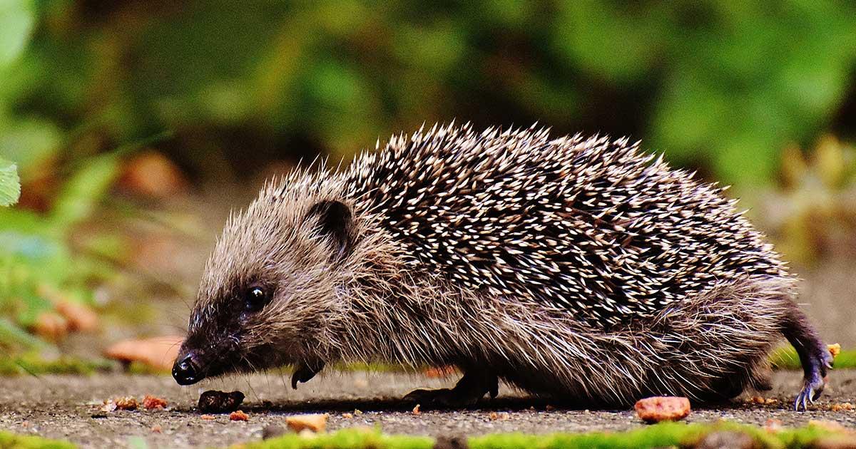 overweight hedgehogs