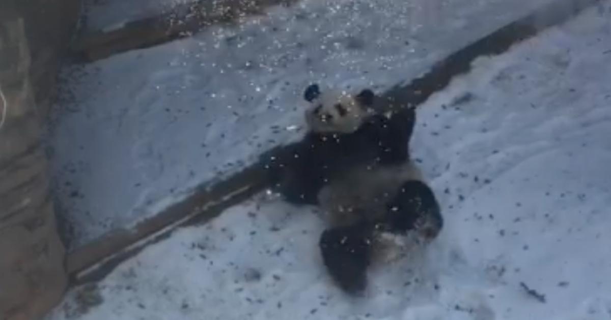 Yang Yang panda atlanta zoo