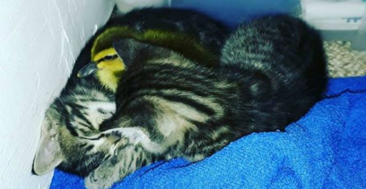 duckling raised with cat